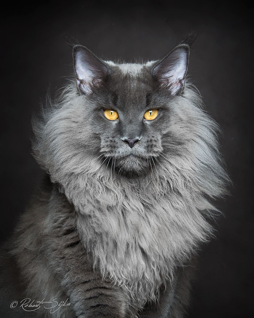 gatos-maine-coon-