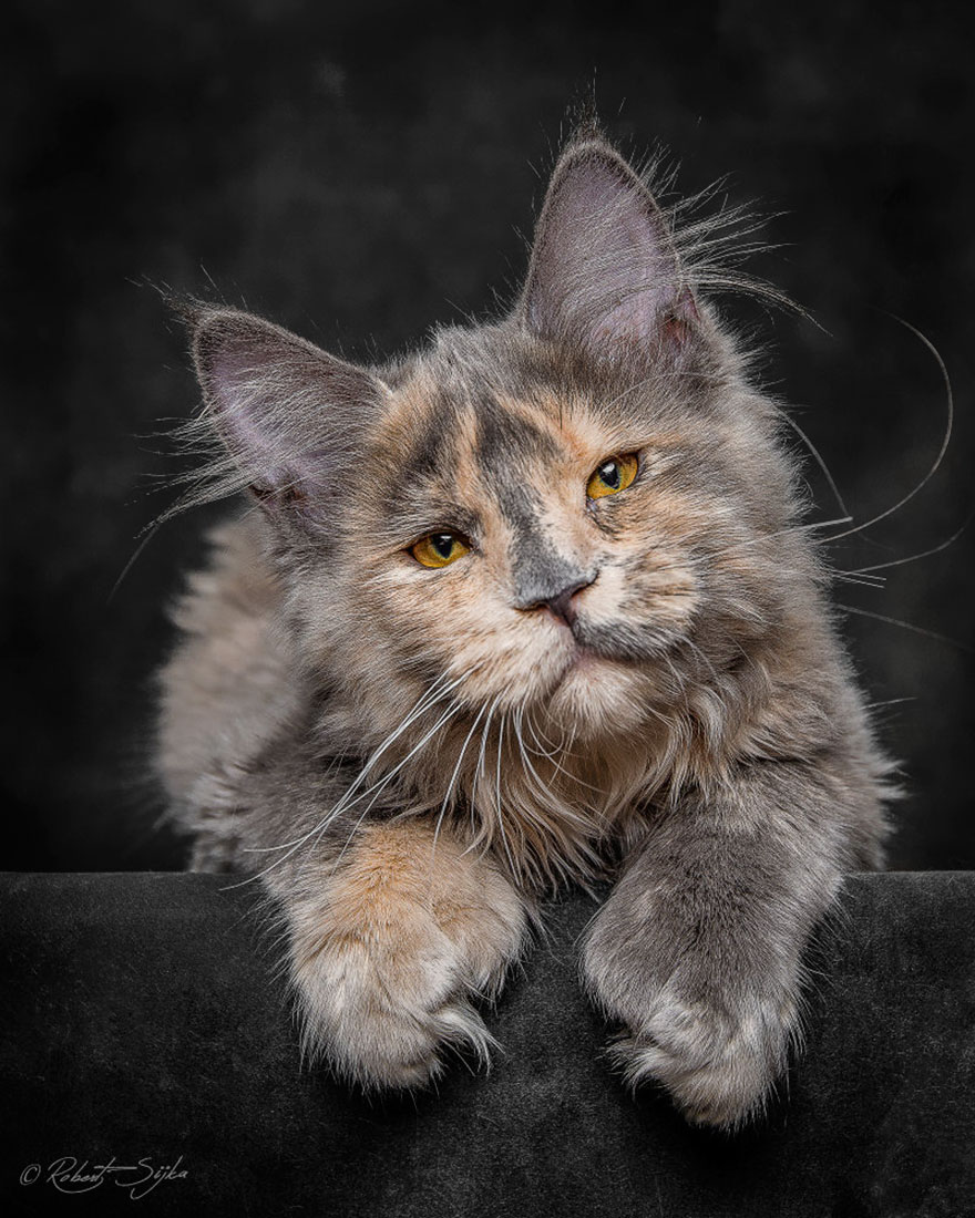 gatos-maine-coon-002