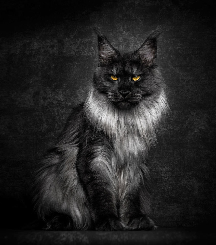 gatos-maine-coon-003