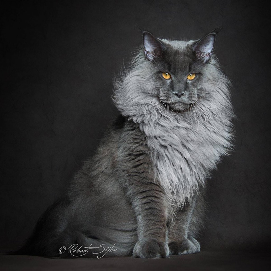 gatos-maine-coon-004
