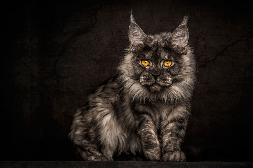 gatos-maine-coon-009