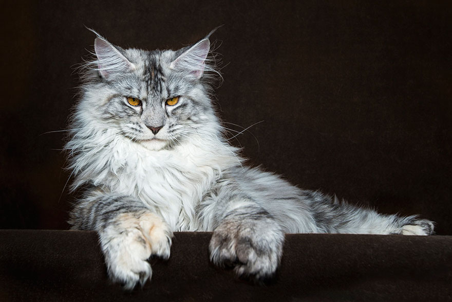 gatos-maine-coon-012
