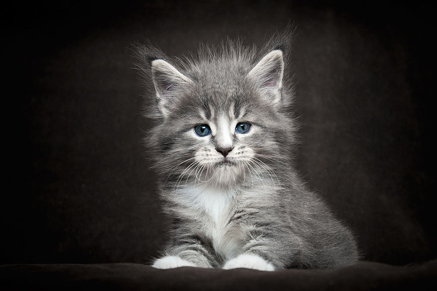 gatos-maine-coon-015