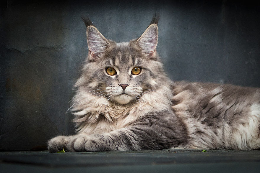 gatos-maine-coon-016