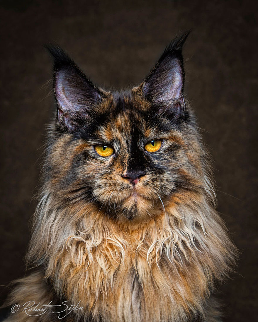 gatos-maine-coon-018