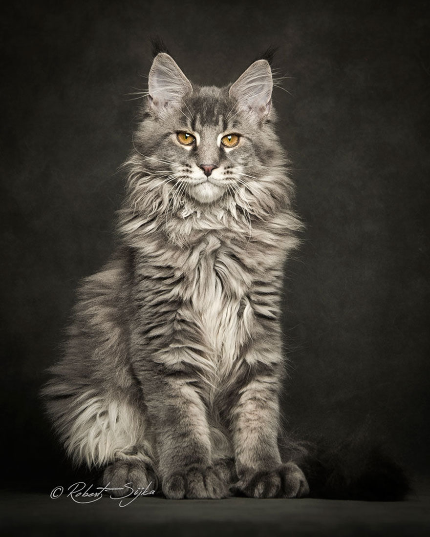 gatos-maine-coon-019