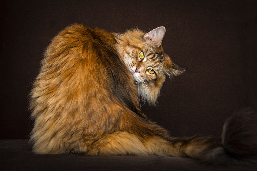 gatos-maine-coon-023