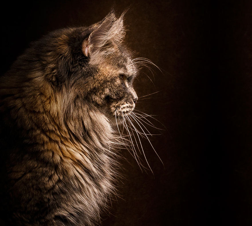 gatos-maine-coon-028